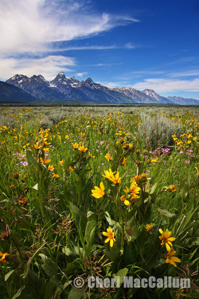 Tetons_wildflowers-copy